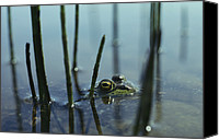 Bullfrogs Canvas Prints - A Bullfrog Peering Canvas Print by Bill Curtsinger
