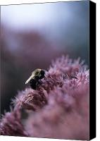 Bumblebees Canvas Prints - A Bumblebee Collects Pollen On A Flower Canvas Print by Taylor S. Kennedy