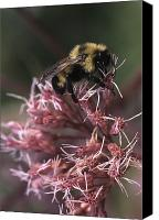 Bumblebees Canvas Prints - A Bumblebee Collects Pollen Canvas Print by Taylor S. Kennedy