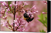 Bumblebees Canvas Prints - A Bumblebee Visiting Lilac Flowers Canvas Print by Darlyne A. Murawski