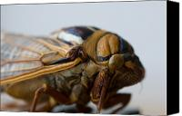Cicada Canvas Prints - A Bush Cicada At The University Canvas Print by Joel Sartore