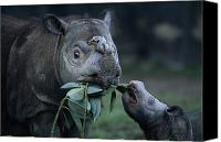 Property Released Photography Canvas Prints - A Captive Sumatran Rhinoceros Canvas Print by Joel Sartore