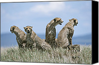 And Threatened Animals Photography Canvas Prints - A Cheetah Family Canvas Print by David Pluth