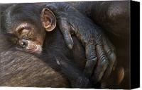 Senegal Canvas Prints - A Chimpanzee Infant Sleeping Canvas Print by Frans Lanting