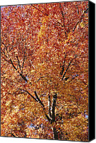 Autumn Scenes Canvas Prints - A Claret Ash Tree In Its Autumn Colors Canvas Print by Jason Edwards
