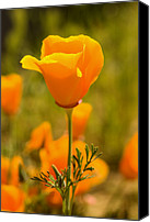 Poppy Petals Canvas Prints - A Close Up Of A California Golden Poppy Canvas Print by Phil Schermeister