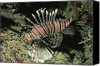 Lionfish Canvas Prints - A Close-up Of A Lionfish Genus Pterois Canvas Print by Carsten Peter