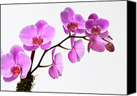 Pink Flower Branch Canvas Prints - A Close-up Of An Orchid Branch Canvas Print by Nicholas Eveleigh