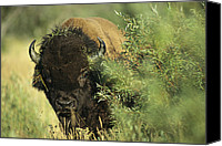 Bison Canvas Prints - A Close-up View Of An American Bison Canvas Print by Raymond Gehman