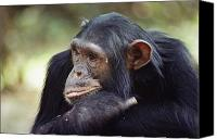 Chimpanzee Photo Canvas Prints - A Close-up View Of Freud, One Canvas Print by Kenneth Love