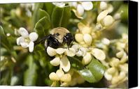 Bumblebees Canvas Prints - A Close View Of A Bumblebee Pollinating Canvas Print by Stephen St. John