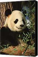 And Threatened Animals Photography Canvas Prints - A close view of a panda Canvas Print by Taylor S. Kennedy