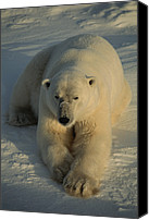 And Threatened Animals Photography Canvas Prints - A Close View Of A Polar Bear Resting Canvas Print by Tom Murphy