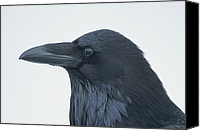 Chromatic Contrasts Canvas Prints - A Close View Of The Head Of A Raven Canvas Print by Tom Murphy