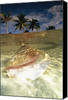 Conch Shells Canvas Prints - A Conch Shell Rests Beneath The Clear Canvas Print by Michael Melford