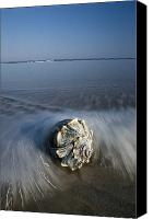 Conch Shells Canvas Prints - A Conch Shell Washed Up On A Ahore Canvas Print by George Grall