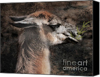 Llama Mixed Media Canvas Prints - A Distinguished Gent  Canvas Print by Elaine Manley