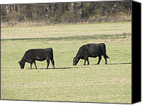 Black Angus Canvas Prints - A Double Header Canvas Print by Shawn Hughes