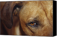 Droopy Canvas Prints - A Floopy Ear And Watchful Stare Canvas Print by Jason Edwards