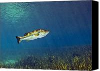 Largemouth Bass Canvas Prints - A Florida Largemouth Bass Swims Canvas Print by Terry Moore
