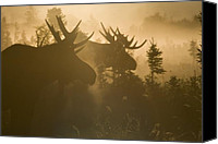 Moose Canvas Prints - A Foggy Morning Canvas Print by Tim Grams