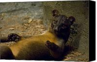 Henry Doorly Zoo Canvas Prints - A Fossa From The Henry Doorly Zoos Canvas Print by Joel Sartore