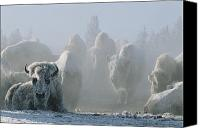 Snow Scenes Photo Canvas Prints - A Frost-covered Herd Of American Bison Canvas Print by Tom Murphy