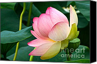 Lotus Full Bloom Canvas Prints - A Gentle Unravelling Canvas Print by Byron Varvarigos