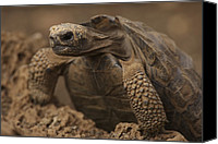 Galapagos Islands Canvas Prints - A Giant Galapagos Tortoise Crawling Canvas Print by Ralph Lee Hopkins