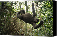Apes Canvas Prints - A Gorilla Swinging From A Vine Canvas Print by Michael Nichols