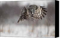 And Threatened Animals Photography Canvas Prints - A Great Gray Owl In Flight Canvas Print by 