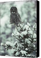 Snow Scenes Photo Canvas Prints - A Great Gray Owl Strix Nebulosa Perches Canvas Print by Tom Murphy