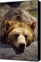 No Face Canvas Prints - A Grizzly Bear Rests His Huge Head Canvas Print by Jason Edwards