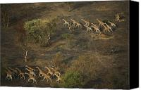Setting Canvas Prints - A Group Of Giraffes Running Canvas Print by Michael Nichols