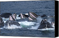 And Threatened Animals Photography Canvas Prints - A Group Of Humpback Whales Bubble Net Canvas Print by Ralph Lee Hopkins