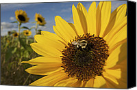 Wild-flower Canvas Prints - A Honey Bee Visiting A Sunflower Canvas Print by Tim Laman