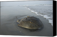 Swim Canvas Prints - A Horseshoe Crab Limulus Polyphemus Canvas Print by Joel Sartore
