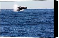 Whale Canvas Prints - A Huge Splash Canvas Print by Shane Bechler