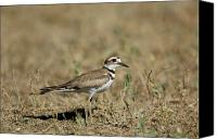Killdeer Canvas Prints - A Killdeer In Eastern Montana Canvas Print by Joel Sartore