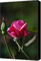 Photographs With Red. Canvas Prints - A Knockout Rose Canvas Print by Skip Willits