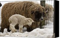 Sheep Canvas Prints - A Lamb And Sheep In The Snow Canvas Print by Tim Laman