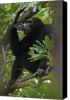 Senegal Canvas Prints - A Large Teenage Male Chimpanzee Perches Canvas Print by Frans Lanting