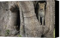 Leopards Canvas Prints - A Leopard And Cub Inside A Giant Baobab Canvas Print by Beverly Joubert