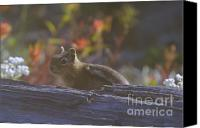 Critters Canvas Prints - A Little Chipmunk  Canvas Print by Jeff  Swan