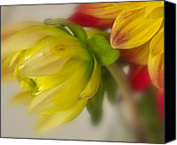 Mariola Szeliga Canvas Prints - A Little Dahlia Canvas Print by Mariola Szeliga