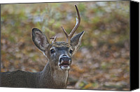 Whitetail Buck Canvas Prints - A Little Unbalanced Canvas Print by Michael Peychich