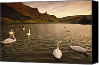 Cygnus Olor Canvas Prints - A Loch Full Of Mute Swans Cygnus Olor Canvas Print by Jim Richardson
