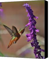 Humming Bird Canvas Prints - A Long Drink Canvas Print by Cindy Fullwiler