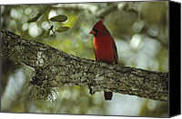Finches Canvas Prints - A Male Cardinal Perches On A Tree Canvas Print by Klaus Nigge