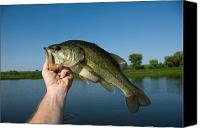 Largemouth Bass Canvas Prints - A Man Holds A Largemouth Bass Canvas Print by Joel Sartore